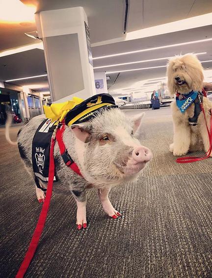 porco terapêutico aeroporto 2