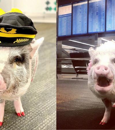 'Porco terapêutico' acalma passageiros com medo de avião