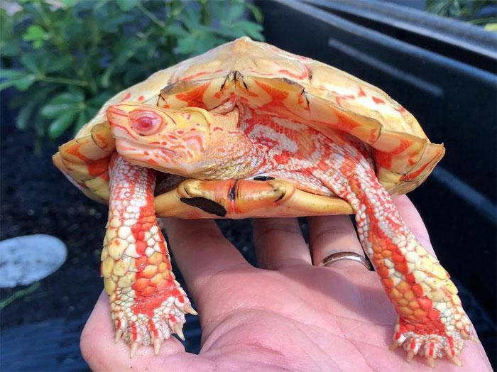 tartarugas albinas 1