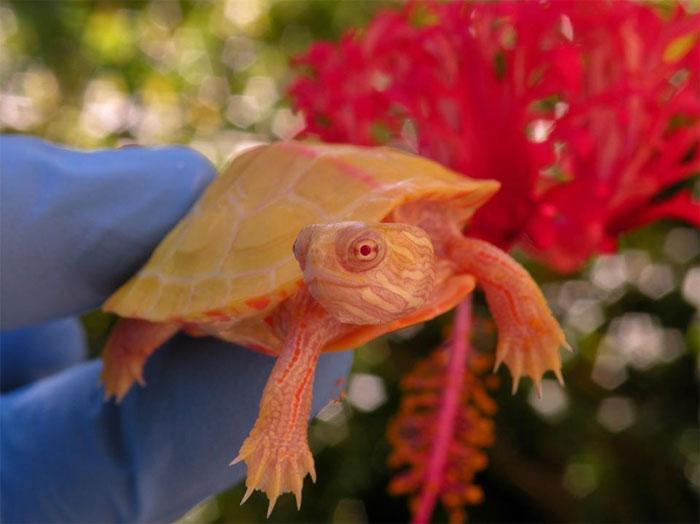 tartarugas albinas 6