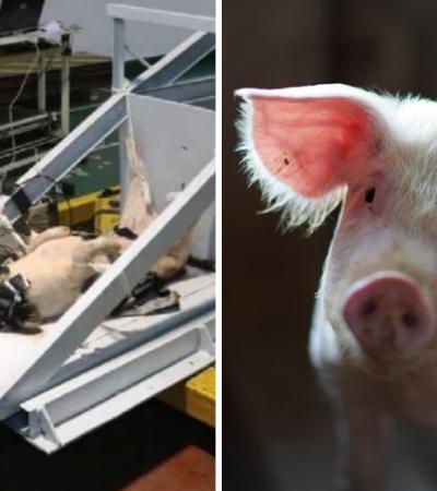 Chineses usam porcos vivos em simulações de acidentes de carro e revoltam defensores dos animais