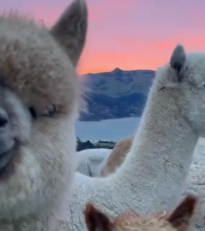 Estas alpacas tranquilonas curtindo um pôr do sol exuberante vão melhorar o seu dia