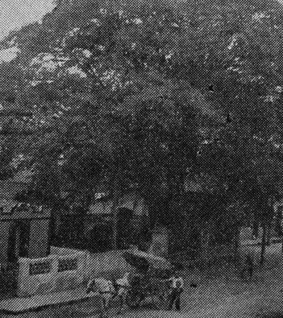 Com 200 anos, árvore mais antiga de SP é danificada por obra