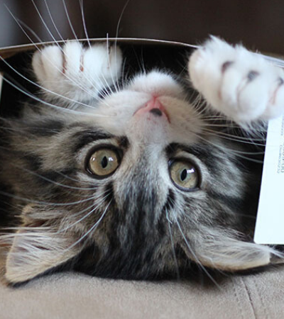 Gatos amam caixas pois estar dentro delas deixa-os menos estressados, aponta estudo