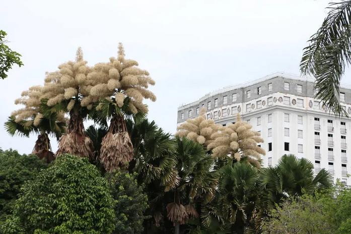 palmeiras flores rio de janeiro 1