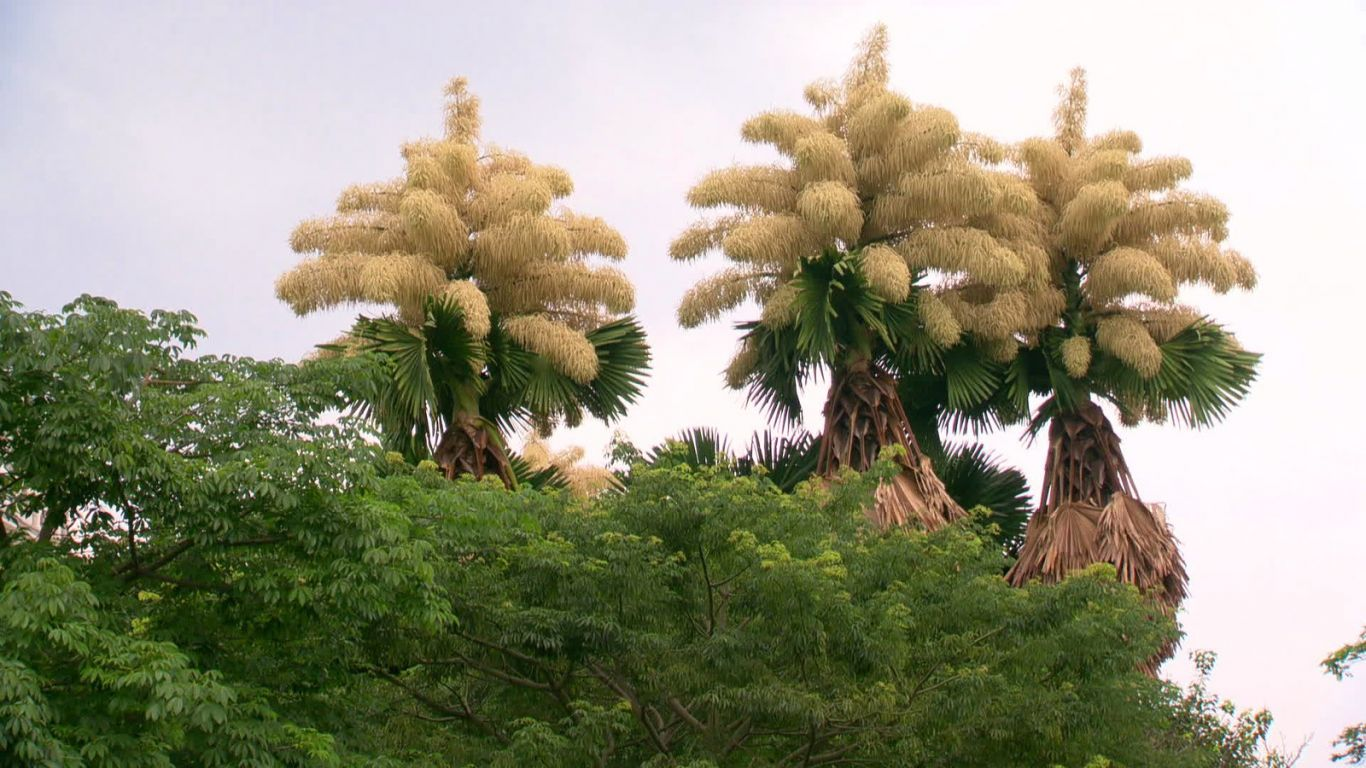 palmeiras flores rio de janeiro 3
