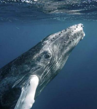 Comemore! As baleias jubarte não são mais consideradas em extinção