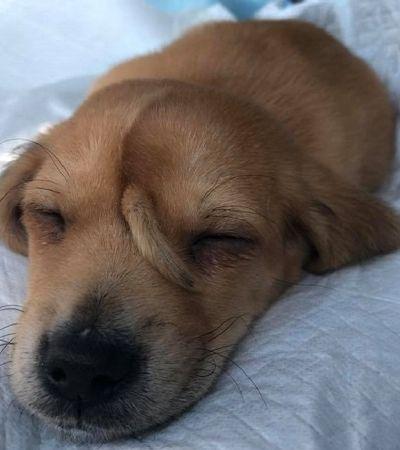 Veterinários dizem que rabo na testa de cãozinho não precisa ser removido