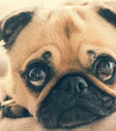 Em alta, pugs sofrem com problemas de saúde fruto de intervenção humana
