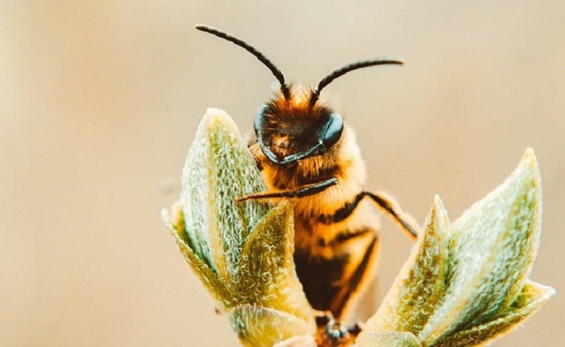 abelhas e cannabis 1