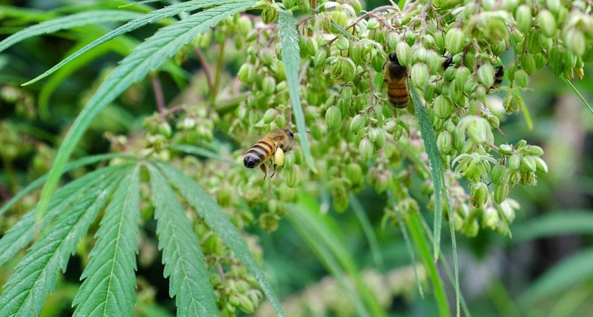abelhas e cannabis 2