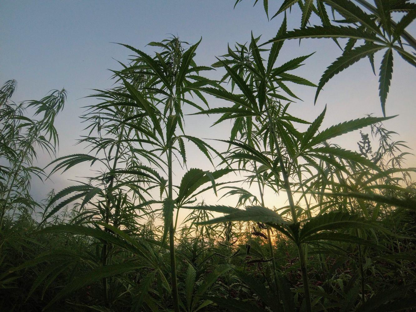 abelhas e cannabis 4