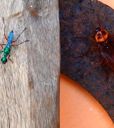 Saiba mais sobre o inseto com o poder de transformar baratas em zumbis