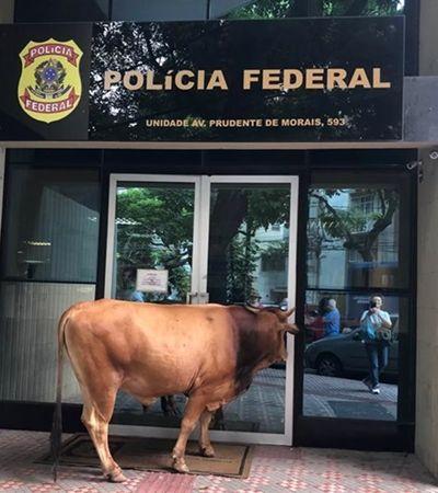 Homem tenta laçar touro 'fugitivo' em pleno centro de BH; veja o vídeo