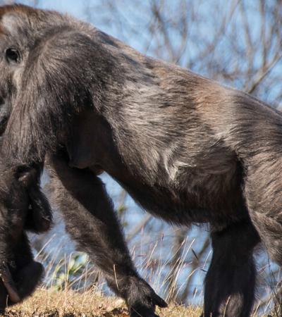 Gorila passa por 1º cirurgia com assistência robótica para corrigir hérnia