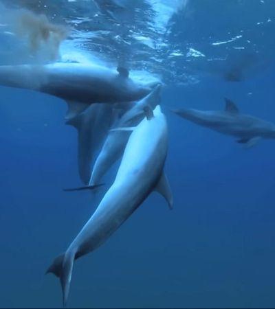 Golfinhos ficam 'viciados' com veneno de Baiacu; veja vídeo