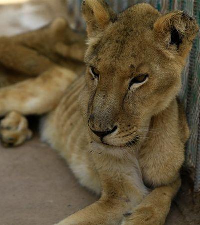 Sudaneses se mobilizam para salvar leões da morte por falta de comida