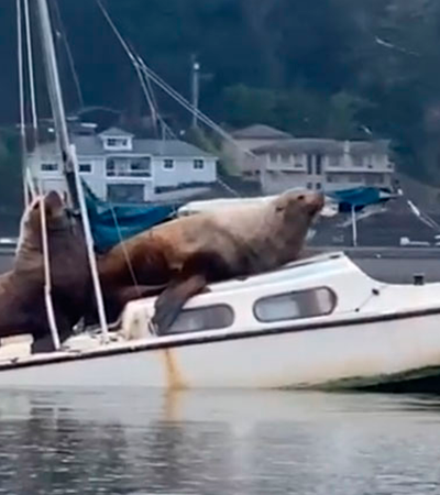 Leões marinhos gigantes dominam barco em vídeo assustadoramente bizarro