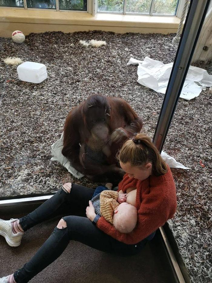 mãe amamentando com orangotango 1