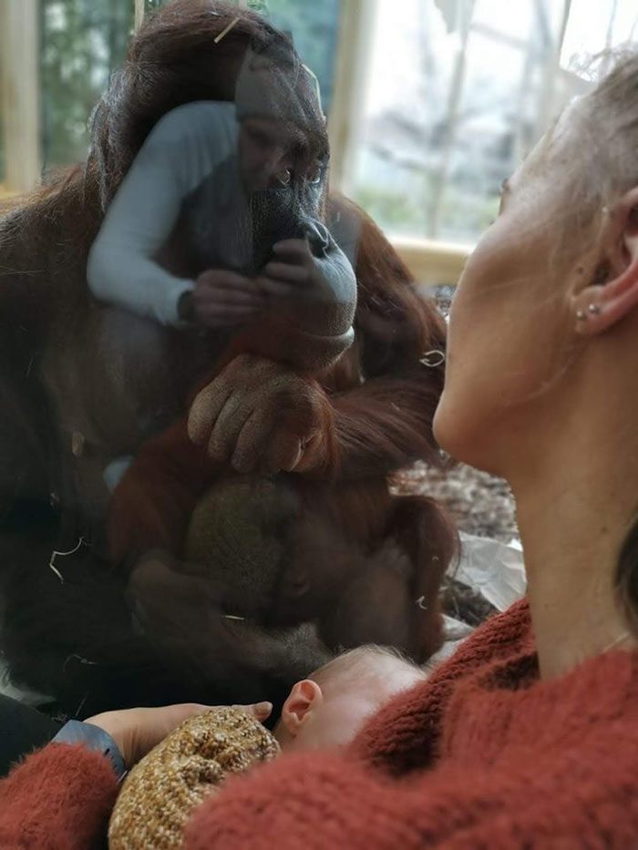 mãe amamentando com orangotango 2