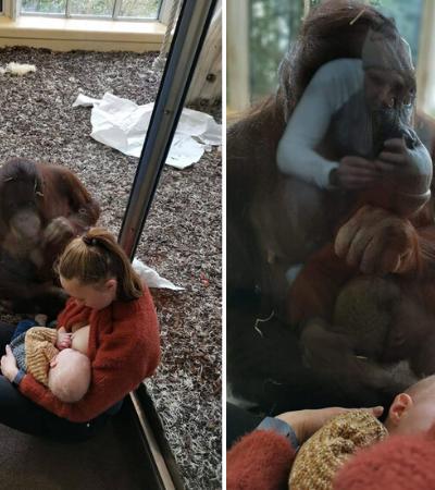 Mãe recebe apoio de orangotango enquanto amamenta bebê