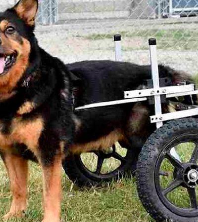 Cachorro cadeirante devolvido 4 vezes finalmente encontra um lar