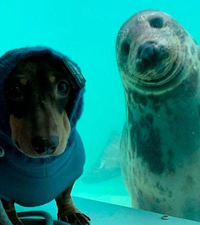 Encontro de cão salsicha e foca em santuário é amor à primeira vista