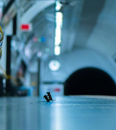 Fotografia de ratos tretando no metrô vence concurso fotográfico de vida selvagem