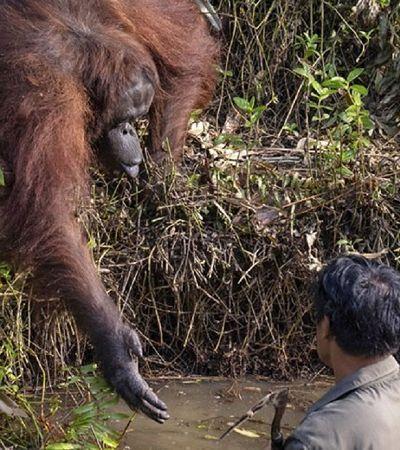 Fotógrafo flagra orangotango tentando salvar guarda florestal em Bornéu