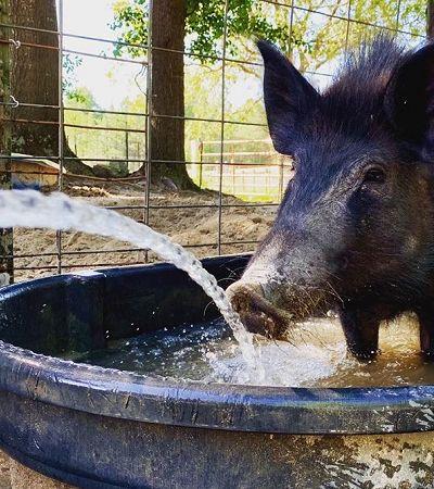 Emprego dos sonhos: santuário busca voluntários para confortar porquinhos resgatados