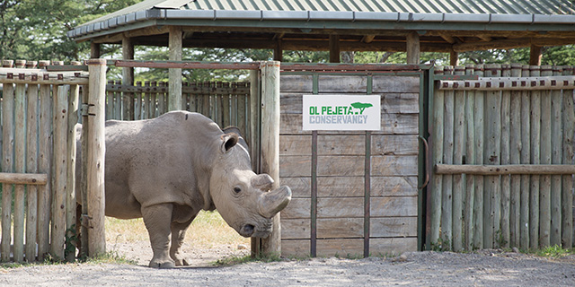 rinoceronte branco 1