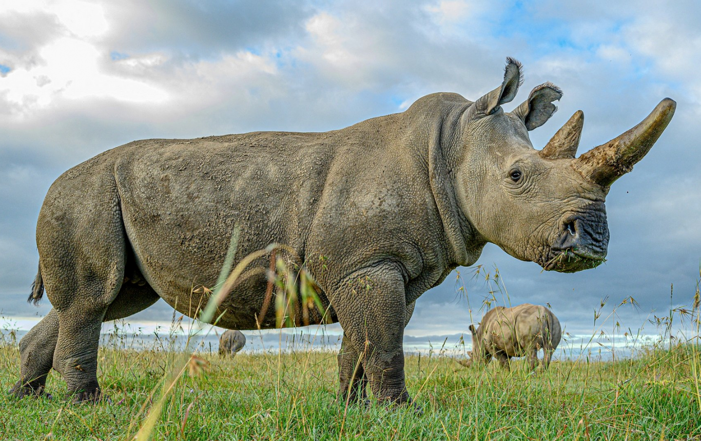 rinoceronte branco 3