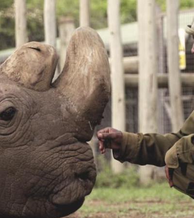 Ciência genética pode salvar rinoceronte branco do norte da extinção; entenda