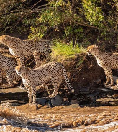 5 chitas tentam atravessar rio infestado de crocodilos em série fotográfica emsériocionante