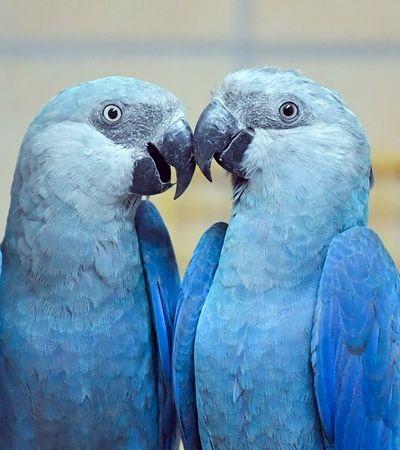 Brasil recebe 50 filhotes de araras-azuis e breca extinção de 20 anos