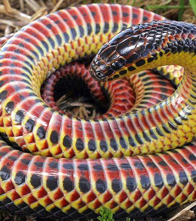 Cobra arco-íris é vista na natureza após meio século