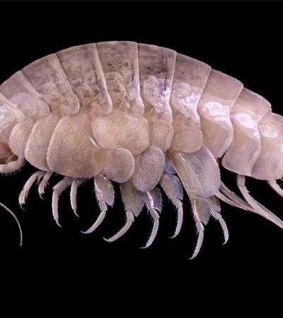 Espécie que mora do ponto mais fundo da Terra é encontrada com plástico no estômago