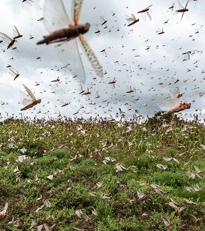 África: o que se sabe sobre a maior invasão de gafanhotos do século