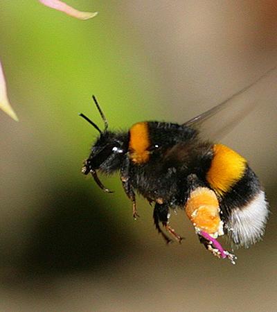 Agrotóxicos estão danificando os cérebros de abelhas bebês