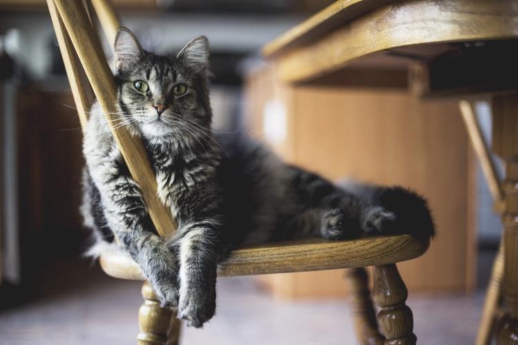Gato cinza deitado numa cadeira