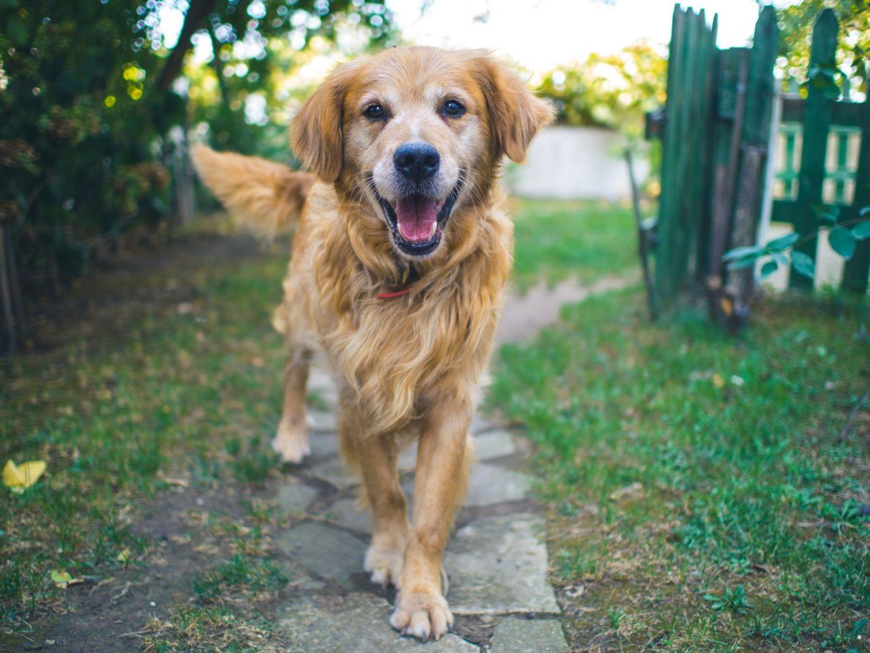 Cachorro amarelo com cara feliz