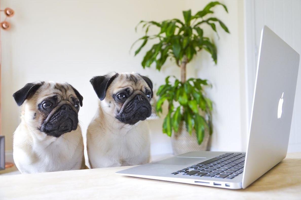 cães fazendo home office 3