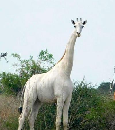 Caçadores matam única girafa branca do Quênia e seu filhote