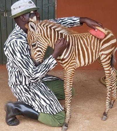 Os funcionários desta reserva usam trajes especiais para cuidar de bebês zebra