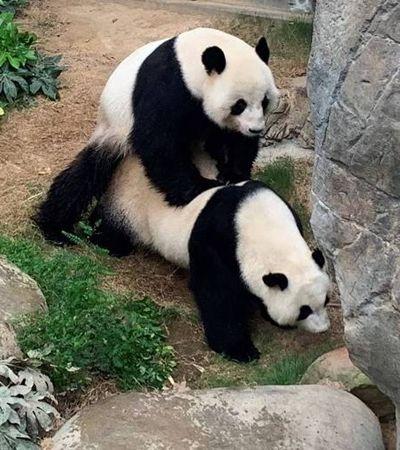 Pandas acasalam durante isolamento após 10 anos e provam que zoológicos tem que acabar