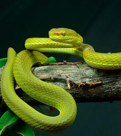 Serpente encontrada na Índia homenageia personagem de 'Harry Potter'