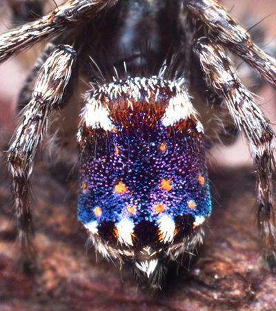 Austrália anuncia 7 novas espécies de aranhas coloridas