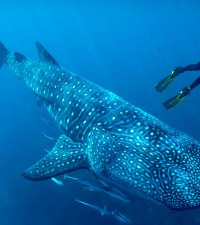 Testes nucleares da Guerra Fria ajudam a identificar idade de tubarões