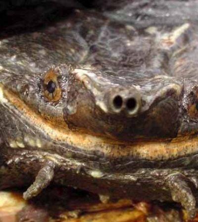 Conheça a nova espécie de tartaruga descoberta na América do Sul