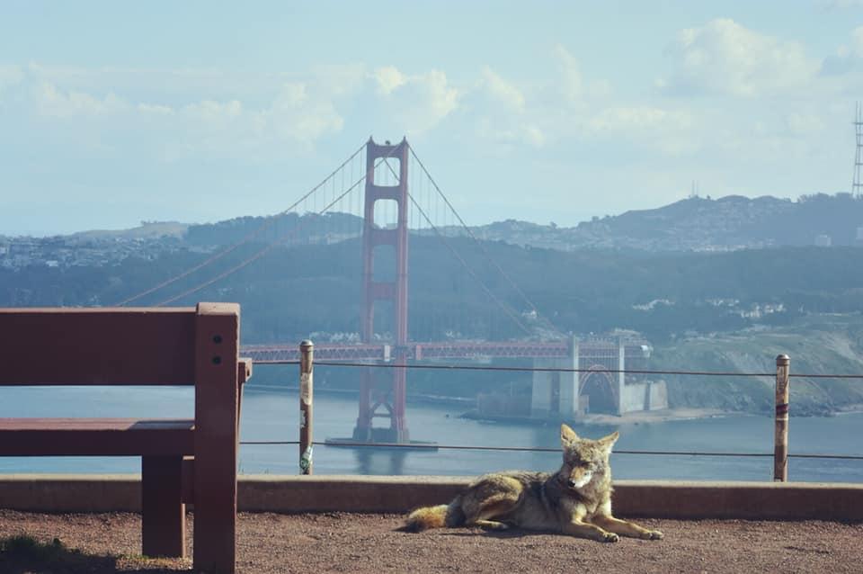 Coiote deitado em frente à Ponte Golden Gate